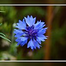 Blue Flower With Frame by davesphotographics