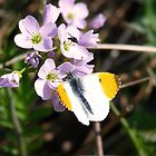 Orange Tip (Anthocharis cardamines) by Tony4562