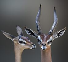 GERENUK PAIR by Michael Sheridan