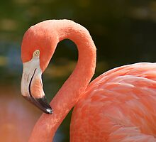Greater Flamingo by Melva Vivian