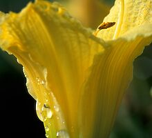 Dew Drops On My Lily by Bill Spengler