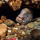 Wolf Eel In Den by Greg Amptman
