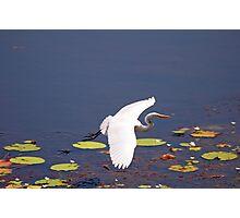 Intermediate Egret at Tyto Wetlands Ingham Photographic Print