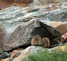 """Sitting on the front step! - Dassies (Cape Hyrax) by Fineli"