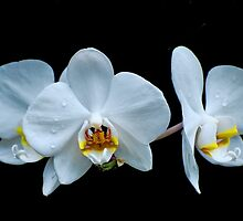 White Orchid by Rodney55