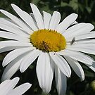 Common Daisy by taiche