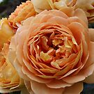 Orange Ruffles Roses by Harvey Schiller