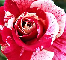 Red Pink Rose Flecked by Harvey Schiller