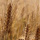 the wheat by Elie Le Goc