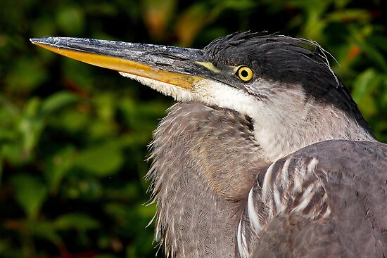 Great Blue Heron up close n personal by Jim Cumming
