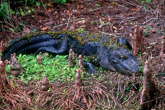 Alligator resting by Larry  Grayam