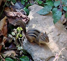 Rock 'n' Chipmunk by Jean Gregory  Evans