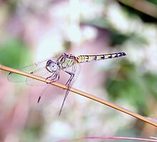 Dragonfly by magiceye