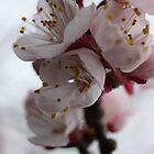 Apricot Blossom by Steven Carpinter