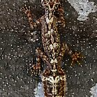 Northern Leaf-Tailed Gecko  (Saltuarius moritzi) by Normf