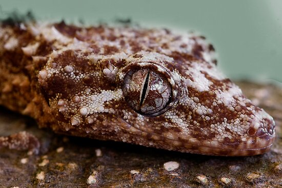 Northern Leaf-Tailed Gecko  (Saltuarius moritzi) Head Study by Normf
