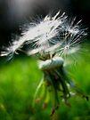 Dandelion Firework by Russ Styles