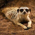 Meerkat by bonsta