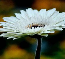 GERBERA IN WHITE - Gerbera in WIT by Magaret Meintjes