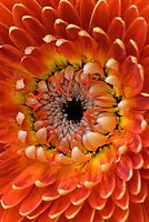 Orange Gerbera Curls by Renee Hubbard Fine Art Photography