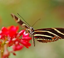Beautiful Butterfly by CarmenLygia