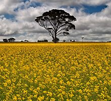 Fields of Gold - Western Australia by Malcolm Katon