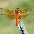 Dragonfly by tonybat
