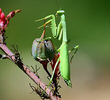Preying Mantis by tonybat