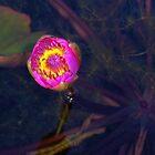On Lily Pond by Sophia Flot-Warner