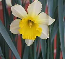 Daffodil by ScenerybyDesign