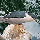 Black-crowned Night-Heron by Micci Shannon