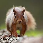 The Red Squirrel by GoWildScotland