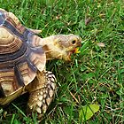 Hungry Girl - Sulcata & Dandelion by Muninn