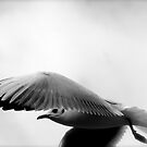 Seagull by Richard Pitman