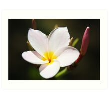 Plumeria Bloom, two Art Print