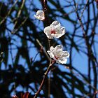White Cherry Blossoms by Heather Short
