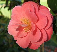 Camelia (2462) by ScenerybyDesign