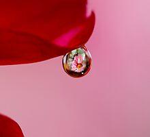 Dahlia in water droplet by MayJ