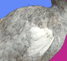 Still Wild About Dodo Birds Sticker