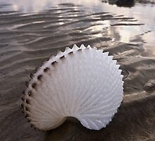 Paper Nautilus Shell by Albert Sulzer