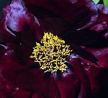 Peony in Dark Red by Bev Pascoe