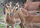 Impala Love by Michael  Moss