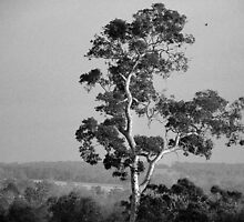 A Giant Above The Rest - Eucalyptus Tree by Eve Parry