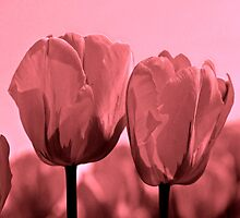 Blushing Tulips by Linda Miller Gesualdo