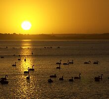 Swan Lake - Queenscliff by Hans Kawitzki