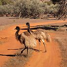 Two emus (Dromaius novaehollandiae), Gawler Ranges NP by Blue Gum Pictures