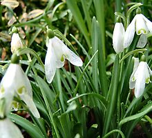Showy Snowdrops by Shoshonan