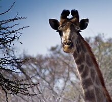 Giraffe - Head Shot by RatManDude