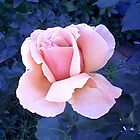 My Garden's 'Just Joey' Rose - JUST Brilliant! © by CDeblin