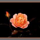 Light Pink Rose by Reza G Hassani